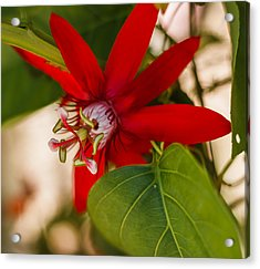 Acrylic Print featuring the photograph Red Passion Flower by Jane Luxton