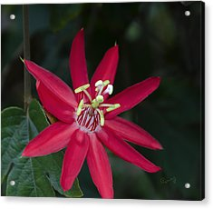 Red Passion Flower Acrylic Print