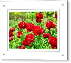 Red Peonis Acrylic Print by Elaine Manley
