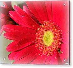 Red Petaled Gerbera Acrylic Print by Heidi Manly