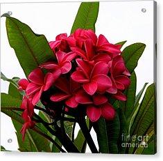 Red Plumeria Acrylic Print