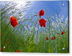 Red Poppies And Blue Sky Acrylic Print by Melanie Viola