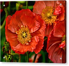 Red Poppies At Fort Worth Botanic Gardens Acrylic Print