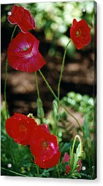 Red Poppies Acrylic Print by Robert Lozen