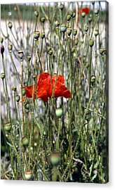 Red Poppy And Buds Acrylic Print
