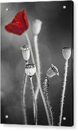 Red Poppy  Acrylic Print by Dirk Ercken
