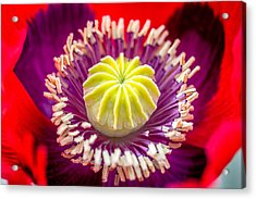 Acrylic Print featuring the photograph Red Poppy. by Gary Gillette