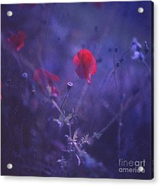Red Poppy In Blue Medium Format Analog Hasselblad Film Photo Acrylic Print by Edward Olive