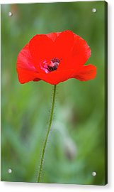 Red Poppy (papaver Rhoeas 'legion Acrylic Print by Richard and Susan Day