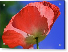 Red Poppy Acrylic Print by Rebeka Dove