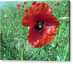 Acrylic Print featuring the photograph Red Poppy by Vesna Martinjak