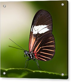 Acrylic Print featuring the photograph Red Postman Butterfly by Zoe Ferrie
