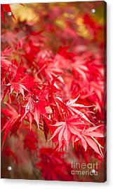Red Red Red Acrylic Print by Anne Gilbert