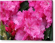 Red Rhododendrons Acrylic Print