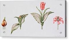 Red Riding Hood Acrylic Print by Sally Crosthwaite