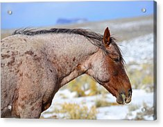 Red Roan Acrylic Print
