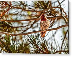 Red Rock Country Hummingbird Acrylic Print by Bob and Nadine Johnston
