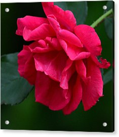 Red Rose 2013 Acrylic Print by Maria Urso