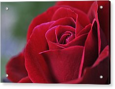 Red Rose Close 1 Acrylic Print