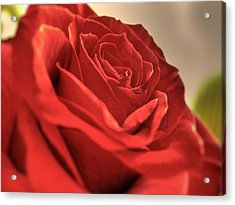 Red Rose Closeup Acrylic Print
