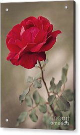Red Rose Acrylic Print by Diana Kraleva