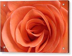 Red Rose Floribunda Closeup Acrylic Print