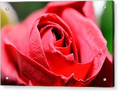 Red Rose Acrylic Print by Ivelin Donchev