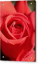 Red Rose Acrylic Print by Lorella  Schoales