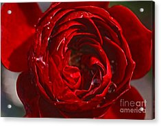 Red Rose Acrylic Print by Nur Roy