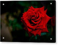 Red Rose Singapore Flower Acrylic Print by Donald Chen