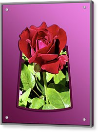Red Rose Acrylic Print by Thomas Woolworth