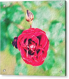 Acrylic Print featuring the photograph Red Rose by Yew Kwang