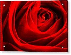 Red Rose Acrylic Print by Zev Steinhardt