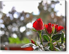 Red Roses Acrylic Print by Daniel Precht