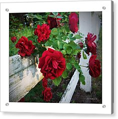 Red Roses - White Fence Acrylic Print by Brian Wallace