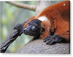 Red-ruffed Lemur Acrylic Print by Karol Livote