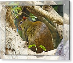 Red-rumped Agouti Acrylic Print
