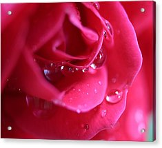 Red Scented Rose Acrylic Print