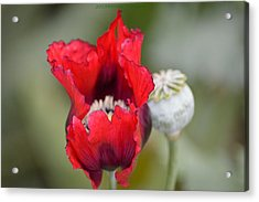 Red Sensation Acrylic Print by Sonali Gangane