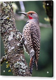 Red Shafted Flicker Vi Acrylic Print by Ronda Broatch