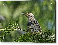 Red Shafted Northern Flicker Female Acrylic Print