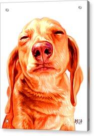 Red Shorthaired Dachshund Acrylic Print by Iain McDonald
