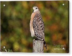 Red-shoulder Hawk Acrylic Print