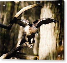 Red Shouldered Hawk Acrylic Print by B Wayne Mullins
