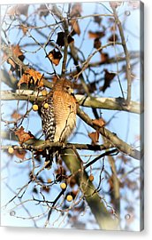Red-shouldered Hawk - Img_7943 Acrylic Print