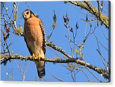 Red Shouldered Hawk Acrylic Print by Jodi Terracina
