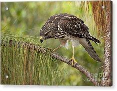 Red Shouldered Hawk Photo Acrylic Print by Meg Rousher