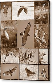 Red-shouldered Hawk Poster - Sepia Acrylic Print by Carol Groenen