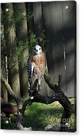 Acrylic Print featuring the photograph Red Shouldered-hawk by Robert Meanor