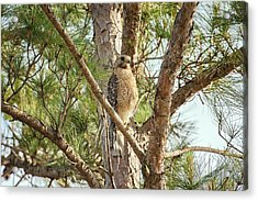 Acrylic Print featuring the photograph Red-shouldered Hawk by Zoe Ferrie